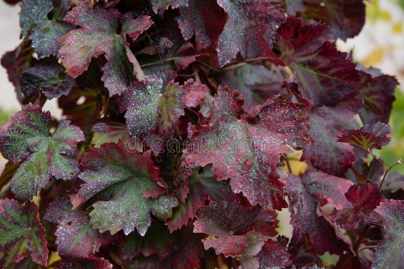 Old red and green grape leaves covered by mould. In late fall garden royalty free stock photos