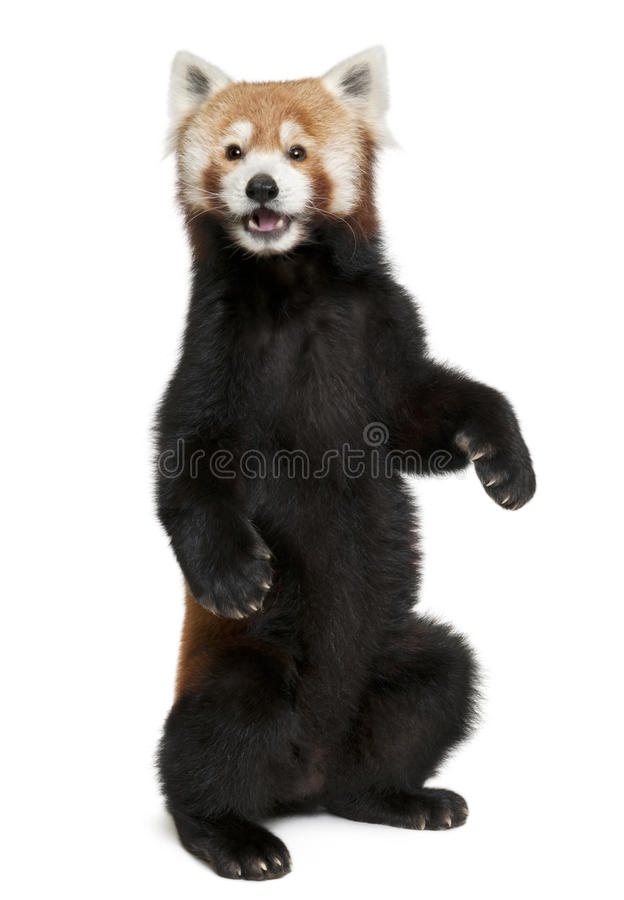 Download Old Red Panda Or Shining Cat, Ailurus Fulgens Stock Image - Image: 17952637