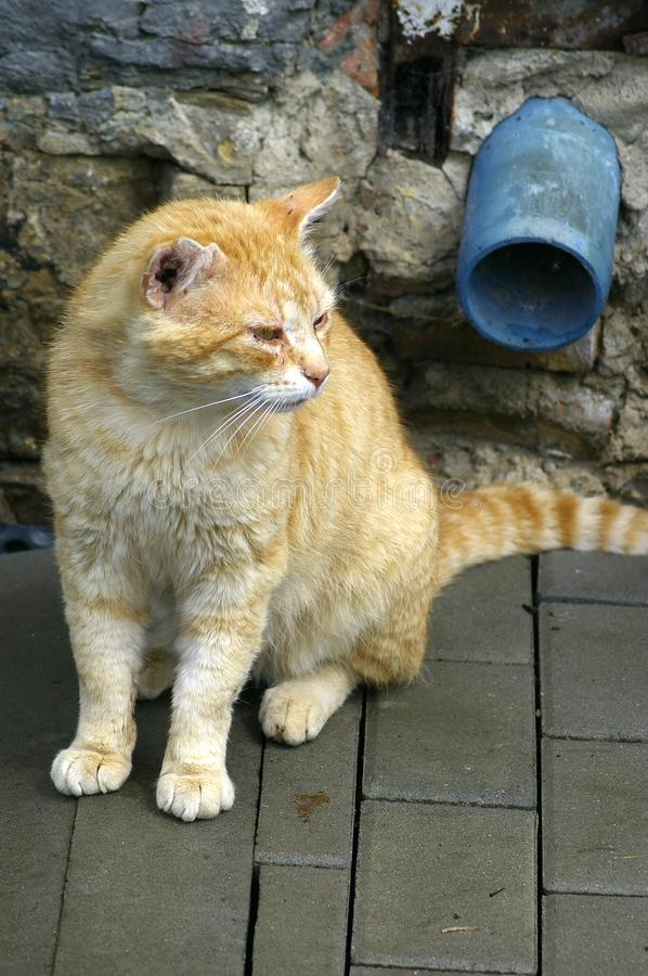 Old red tabby cat stock images