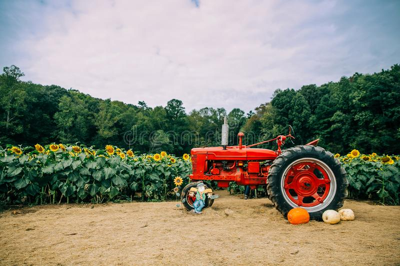 Old red vintage tractor in a sunflower field royalty free stock photo