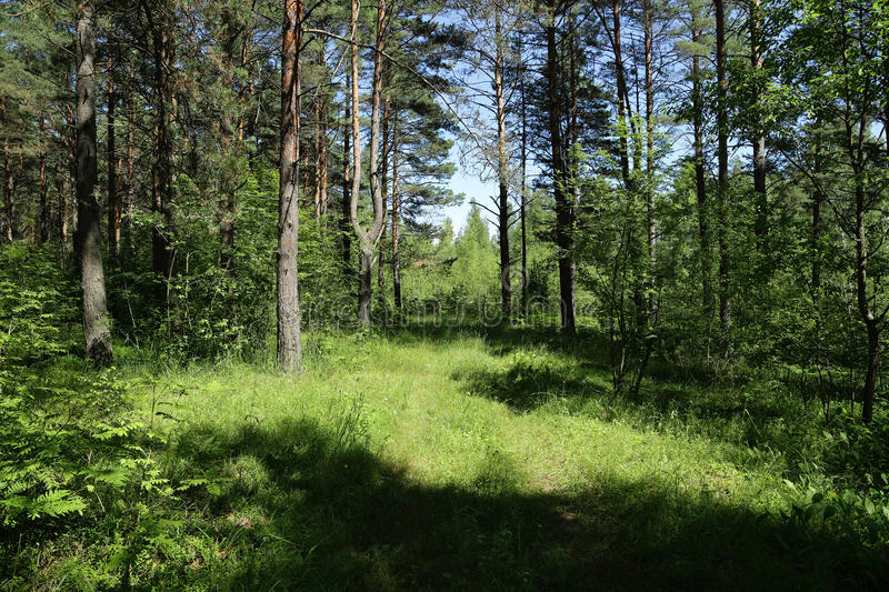 Old road in the middle of a forest in Sunny day royalty free stock photos