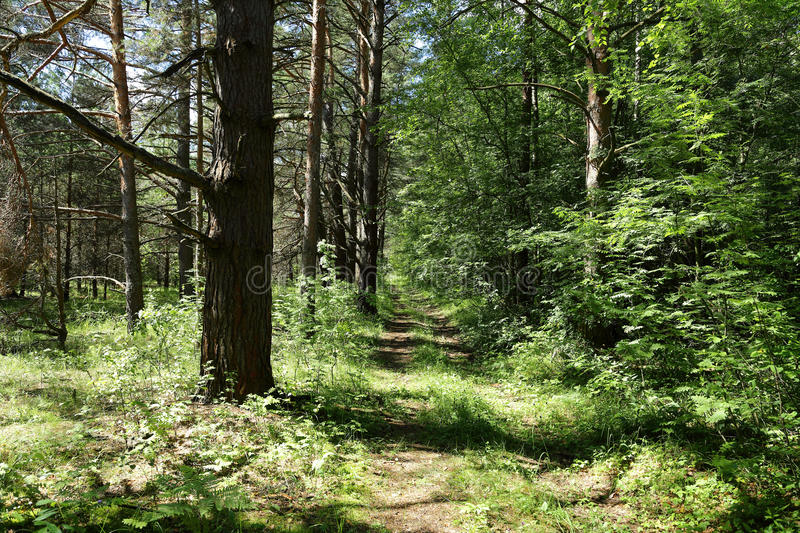 Old road in the middle of a forest in Sunny day royalty free stock image
