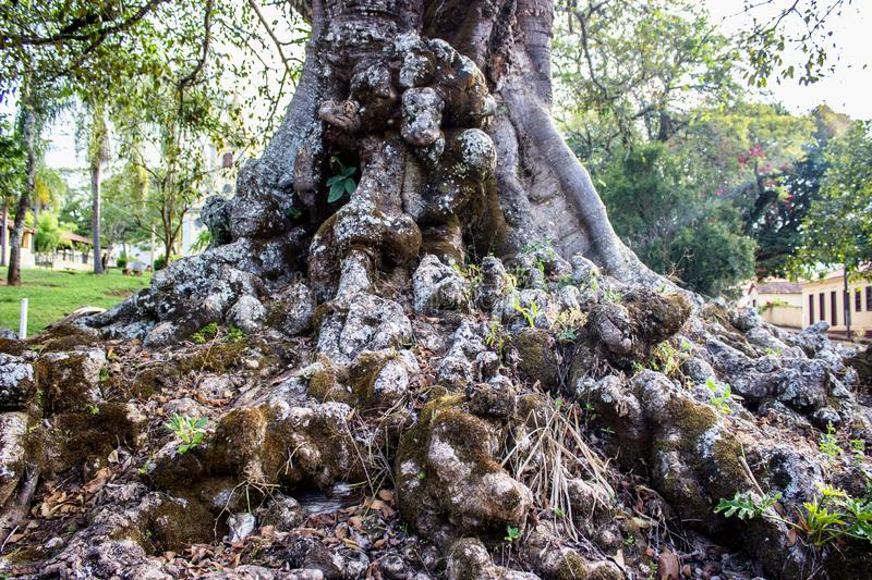 Old root. The old root is more than two centuries old, the old Figueira and its roots enchant the tourists who pass to see royalty free stock photo