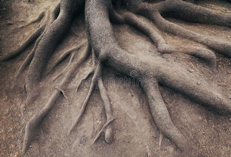 Old root of tree, in forest. Landscape stock images