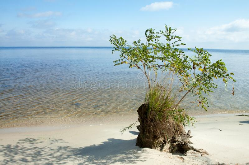 Old roots of a dead tree on the sandy shore near the lake. Clean sandy beach, lake and clouds. stock photos