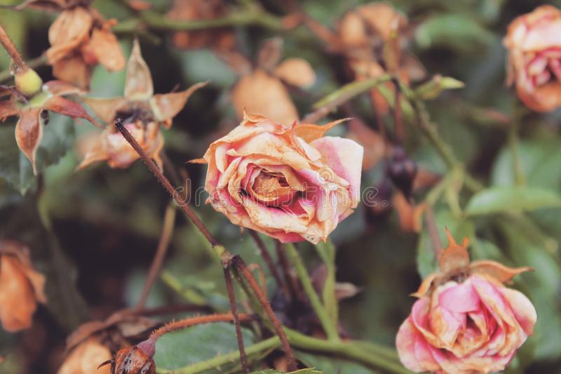 Old rose royalty free stock images