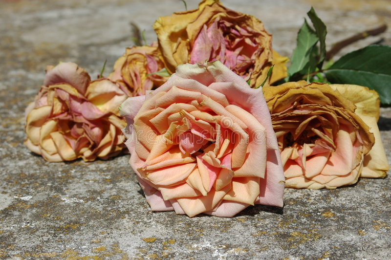 Download Old Roses Stock Images - Image: 6509114