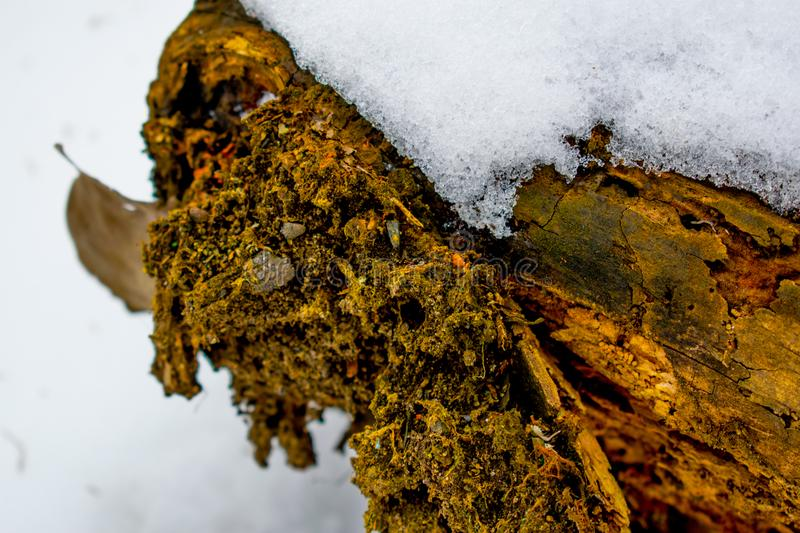 An old, rotten, brown, wet log in winter against a background of melting snow in the frost stock images