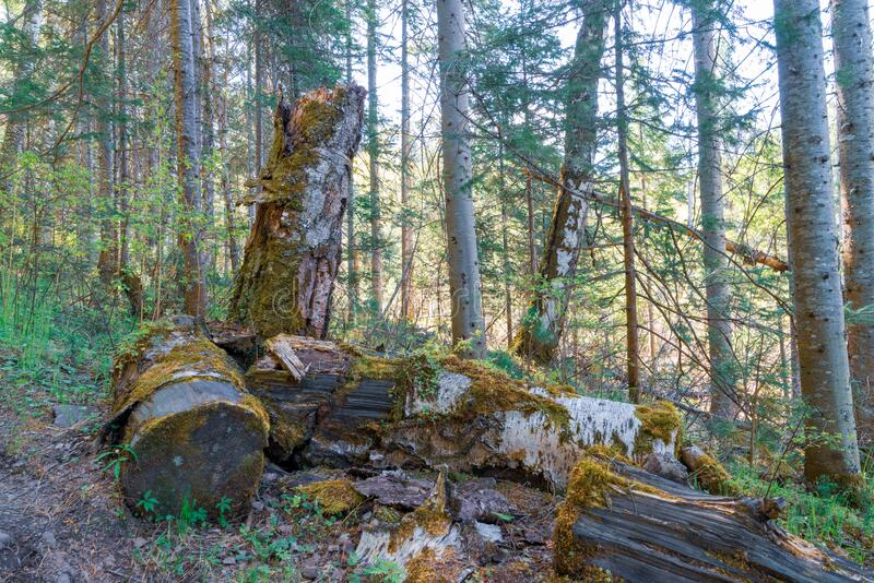 Old, rotten, fallen trees in the forest covered with moss stock photo