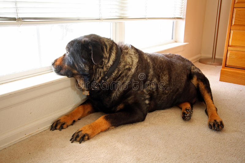 Old rottweiller dog gazes out window stock photo