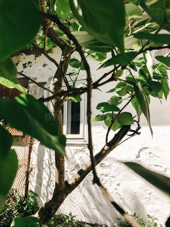 Old rustic white wooden window on aged wall of house in sunny botanical garden with branches and fresh new green leaves. Phone royalty free stock photography