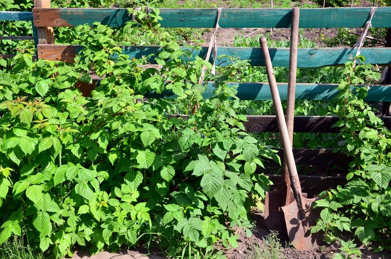 An old rusty shovel near the raspberry bushes, which grow next to the wooden fence of the village garden. Background image associ. Ated with seasonal harvests stock photography