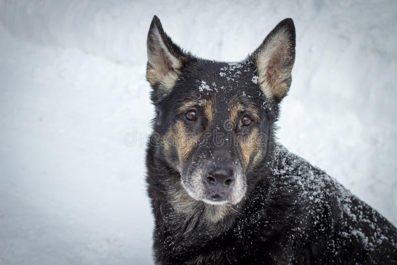Old Sad Dog royalty free stock images