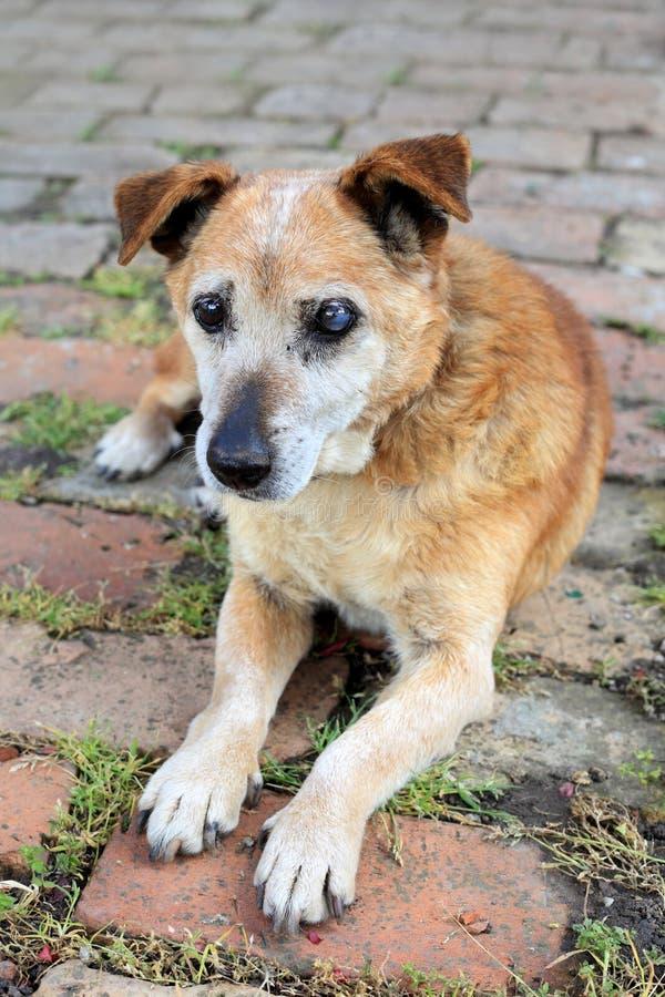 Old Sad Mix Breed Dog Stock Photo