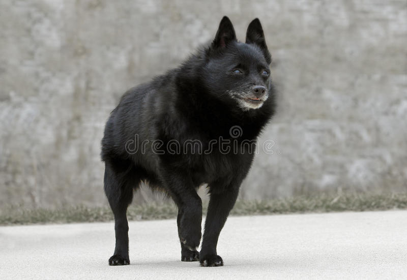 Old Schipperke Dog. Old, graying Schipperke dog posing with one paw lifted up royalty free stock photography