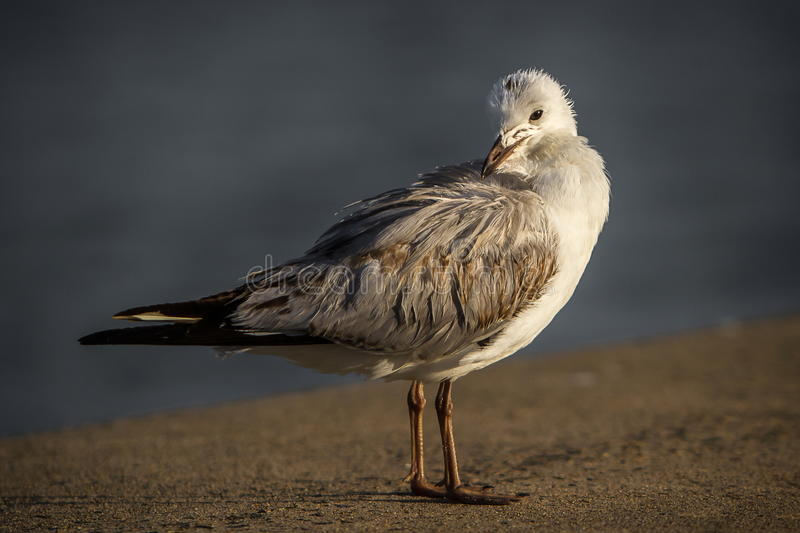 Old seagull on concrete wall stock image