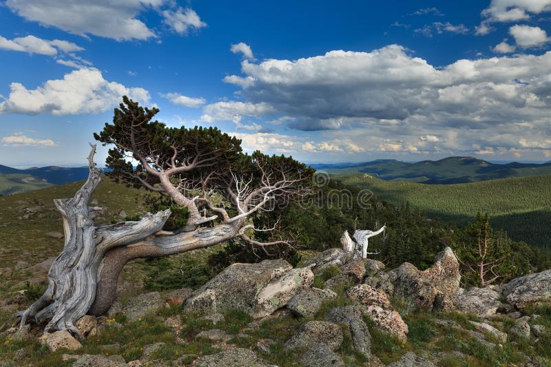 Old Sentinel, Mt Evans Road, Colorado, USA. An ancient Bristlecone Pine overlooks a scenic vista along Mount Evans road, the highest paved road in the USA royalty free stock image