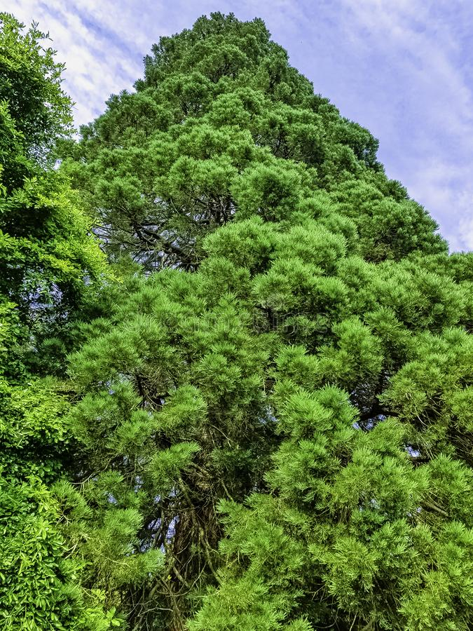 Old sequoia / redwood tree in Uckfield, United Kingdom royalty free stock images