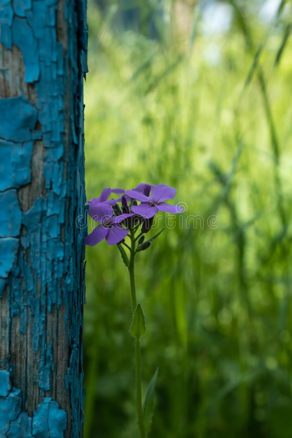 On the old shabby blue fence, a lonely young purple flower was set against the background of abundant green grass in the royalty free stock photos