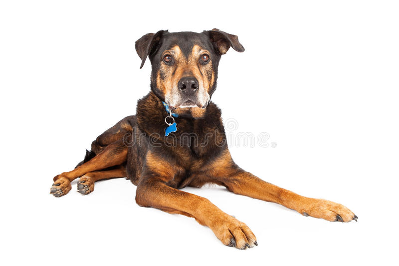 Old Shepherd Dog Laying Over White. A senior large mixed Shepherd and Rottweiler breed dog laying down on a white studio background, looking at camera stock photos