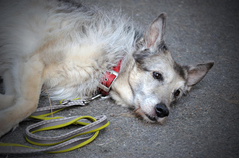 Old shepherd Dog tired, lying on gray background. Old sad shepherd Dog tired, lying on asphalt background stock photos