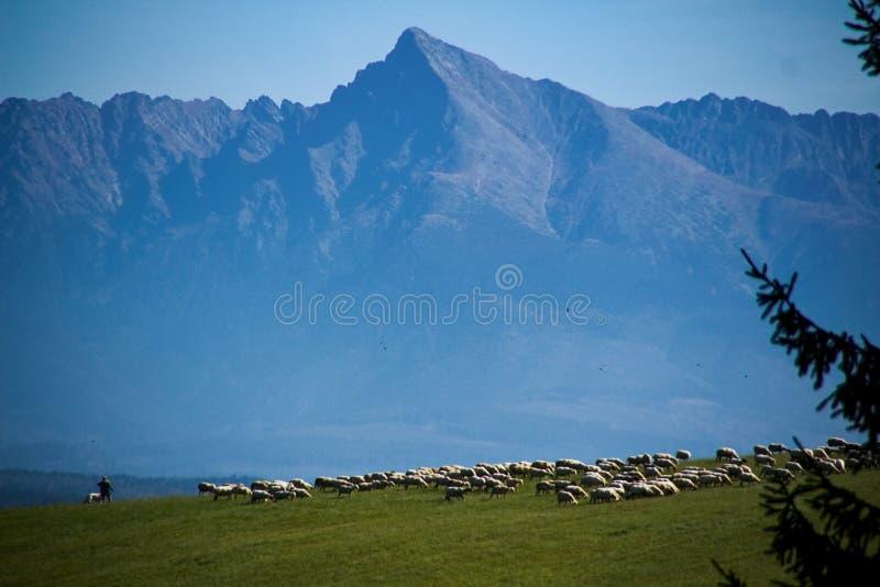 Shepherd of sheep,mountains in background stock photos