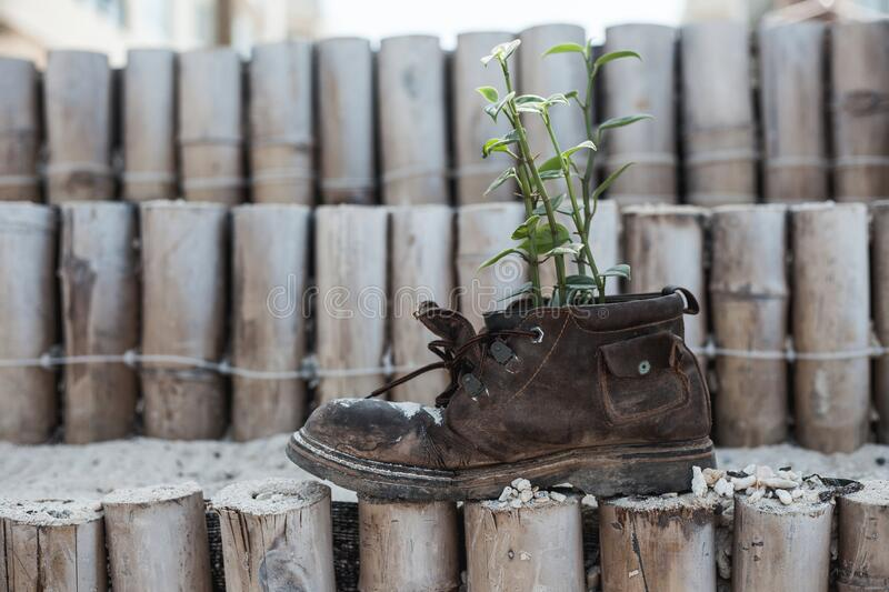 Old shoe with plant in the garden royalty free stock image