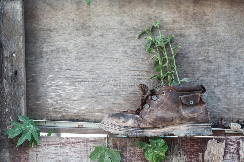Old shoe with plant on the wooden background royalty free stock images