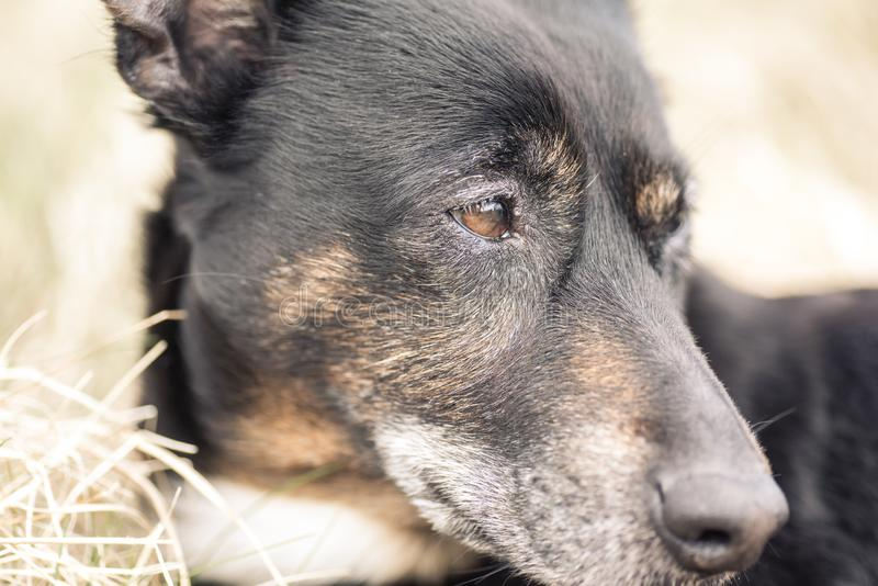 Old and sick dog dying of cancer stock photos