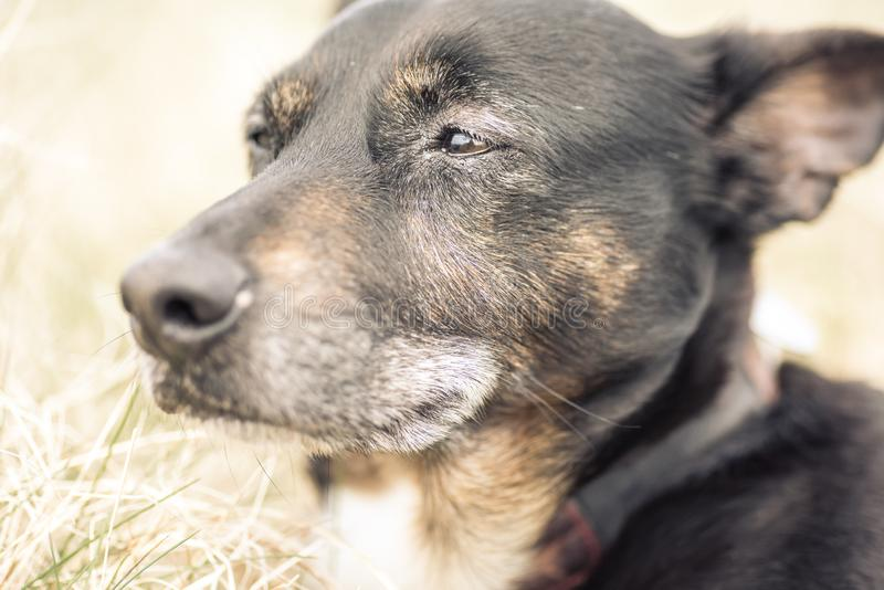 Old and sick dog dying of cancer. Beloved pet stock images