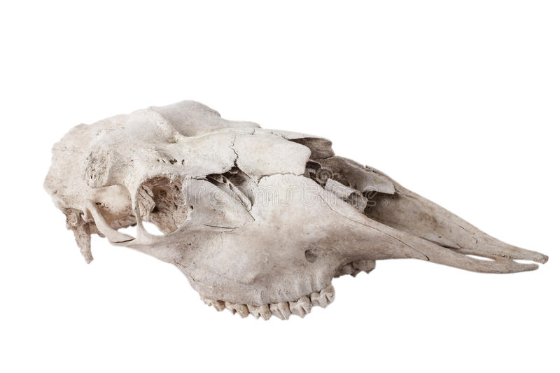 Old skull moose isolated on white background.  stock images
