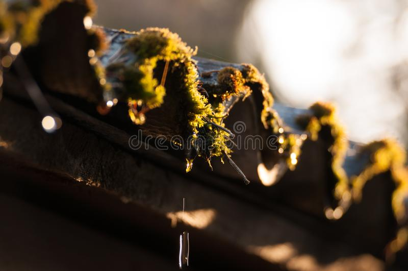 Old slate roof covered with moss. Spring water drops. Closeup shot royalty free stock image