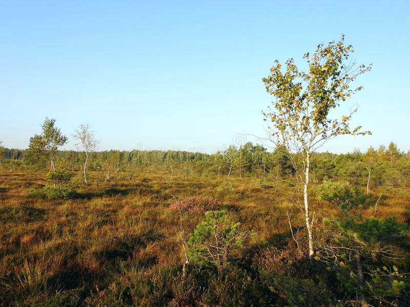 Old small birch  tree in swamp, Lithuania. Field and small but old fir  tree in autumn in Aukstumalos swamp stock images