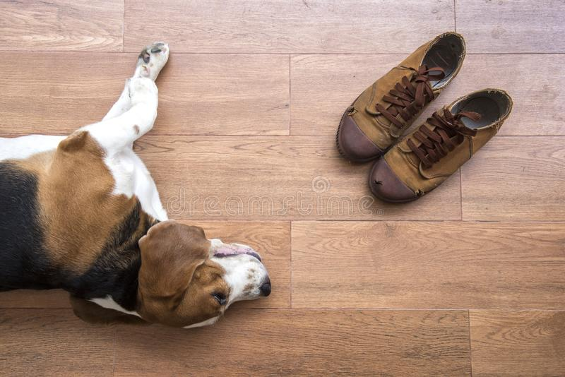 Old sneakers Placed close to beagle dog royalty free stock photo