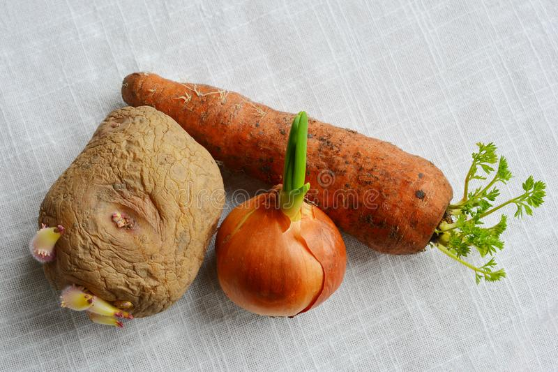 Old sprouted vegetables: potato, onion and carrot with young sprouts. Agriculture planting material. Vegetables on table stock images
