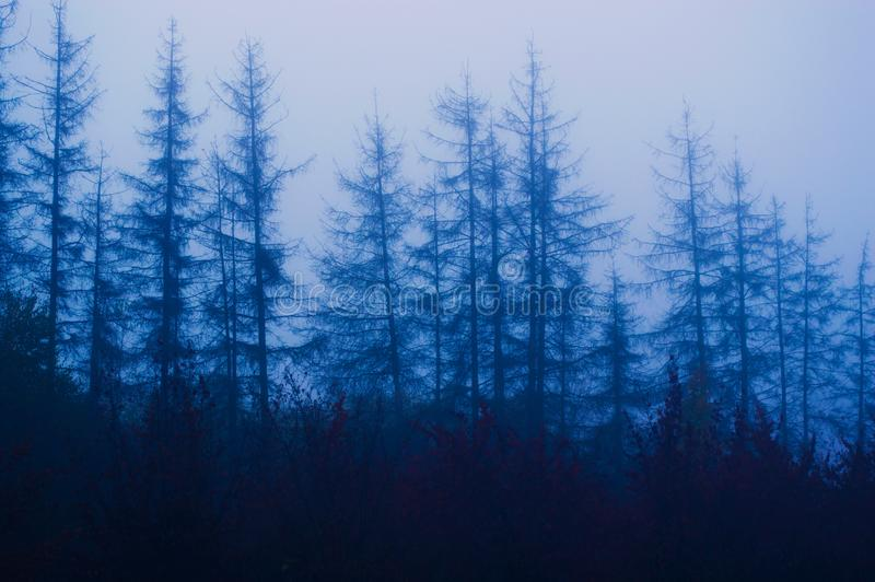 Old spruce trees in a gloomy foggy forest. In detail stock image