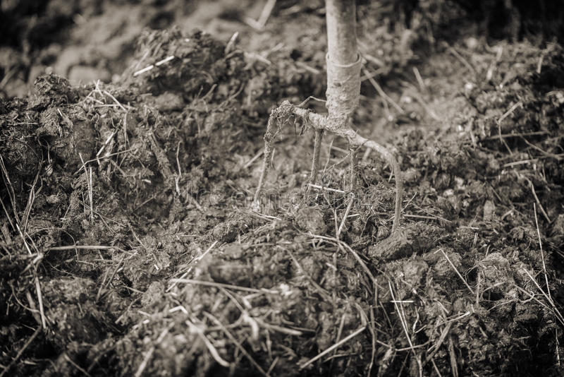 Old steel pitchforks in a pile of manure , fertilize fields. Vintage effect royalty free stock photography