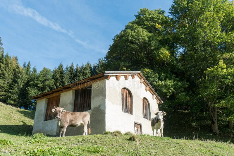 Old house and cows in a Swiss mountain landscape in the Alps stock photography