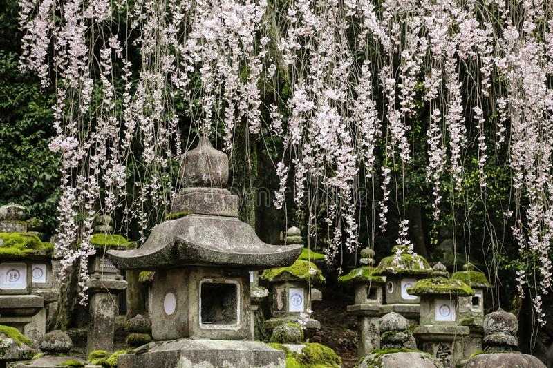 Old stone japanese lanterns and flowering branches sakura in Kasuga Grand Shrine, Nara, Japan stock photo