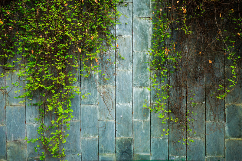 Old stone wall with green ivy at underground crossing at Fort Ca stock photography