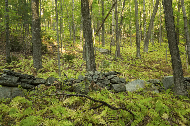 Old stone wall in open woodland of central Connecticut. royalty free stock photo