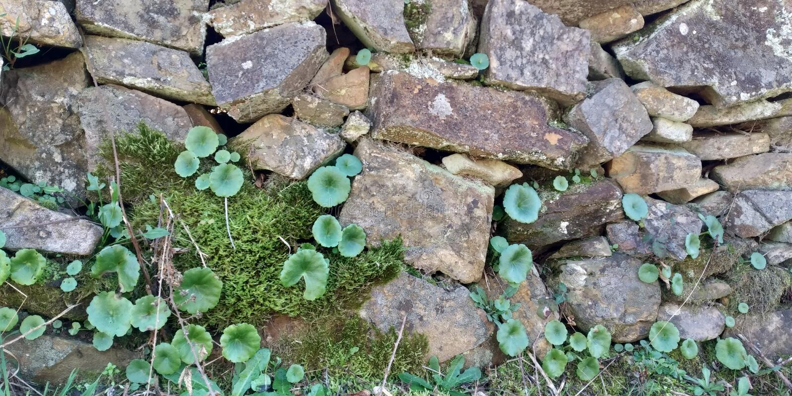 Old Stone Wall Texture. Stone Wall Texture with leaves. Grey Green. Muro de Pedra stock photos