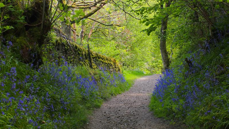 Path through bluebell wood in England. Old stone walls and bluebells in an ancient wood in Tegg`s Nose Country Park, Cheshire, near Macclesfield, Great Britain stock image