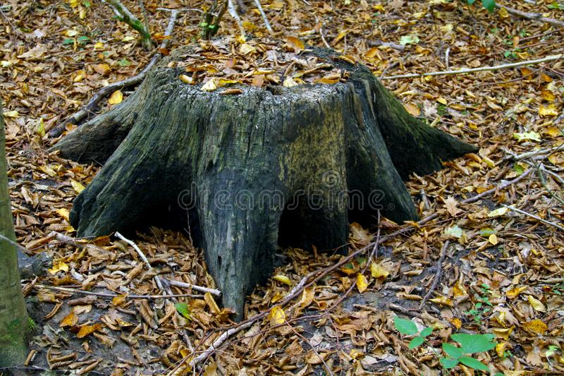 Old stump in a beautiful autumn forest. On it fall leaves of trees. The background is green stock image