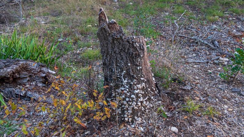 Old stump of dead tree coated in small white mushrooms, in a forest stock images