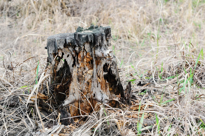 Old stump in the forest on a cloudy day royalty free stock photography