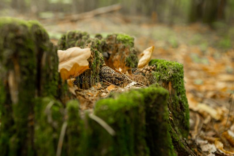 Old stump, moss, fir cones in the autumn forest. Wild forest, yellow leaves stock photo