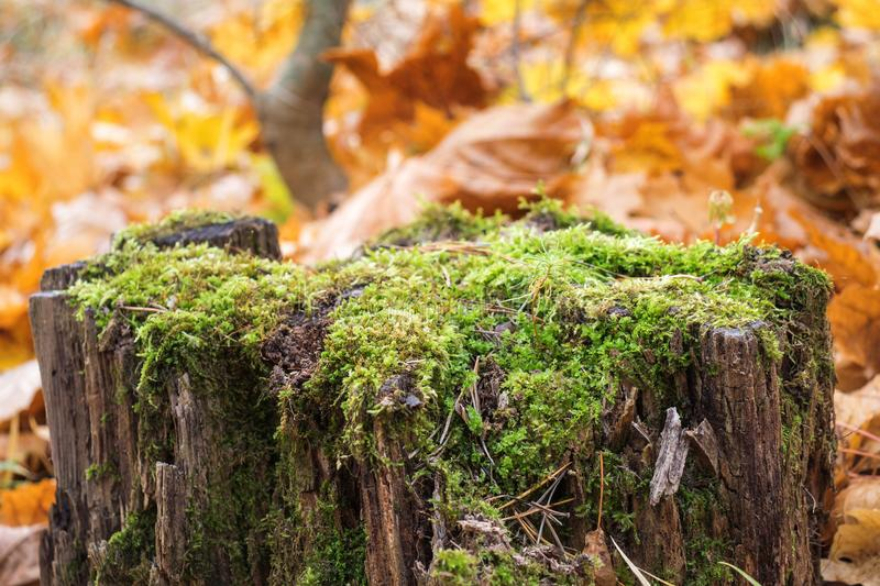 Old stump, moss, fir cones in the autumn forest. royalty free stock photography