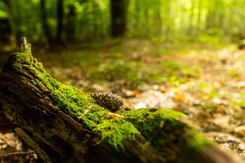 Old stump, moss, fir cones in the autumn forest. Wild forest, yellow leaves royalty free stock photos