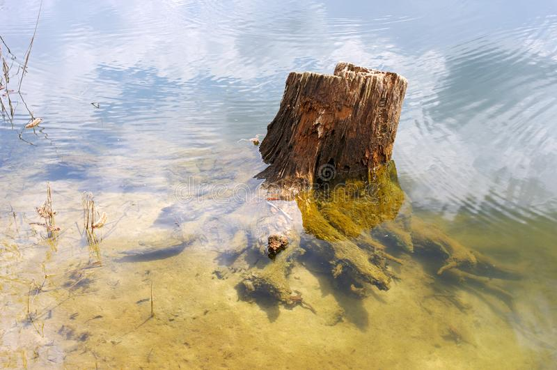Old stump of a tree in a forest lake
